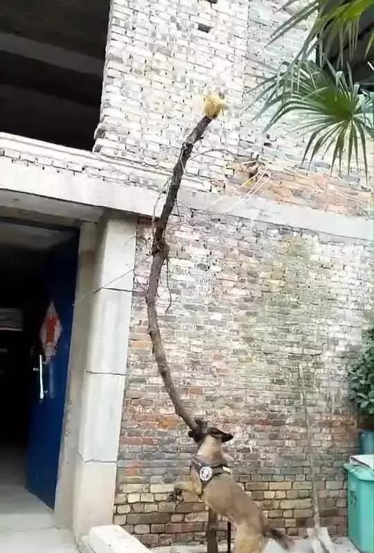 狗子疯狂撕咬自家的葡萄树,宠主很疑惑,抬头看到树顶后笑喷
