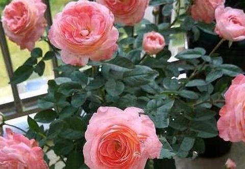 喜欢在家中养护花卉,就选择花期艳丽,花朵硕大,花期长的3种花