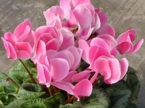 喜欢在家中养护花卉,就选择花期长,花色绚丽,爆盆简单的5种花