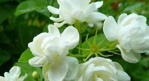 喜欢在家中养护花卉,就选5种花期长,花朵大,花色艳丽的花养护
