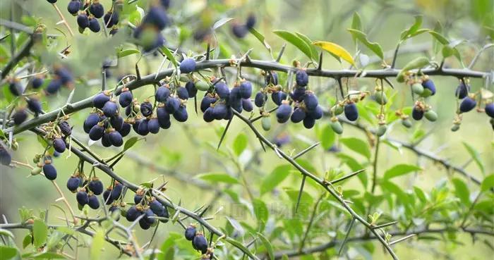 梅花刺,见过吗?叶用于淋巴腺炎、腮腺炎;果健胃消食