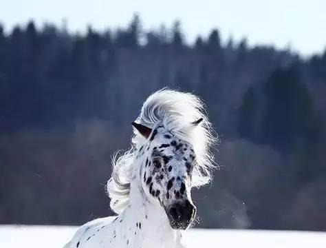 阿帕卢萨马——全世界最风骚的马,一身都是斑点