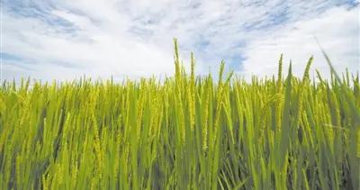 """""""海稻86""""为何不怕咸?测序技术锁定水稻关键耐盐基因"""