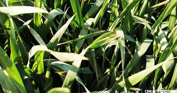 滨州市惠民县辛店镇夹河村发现一处小麦条锈病发病田块