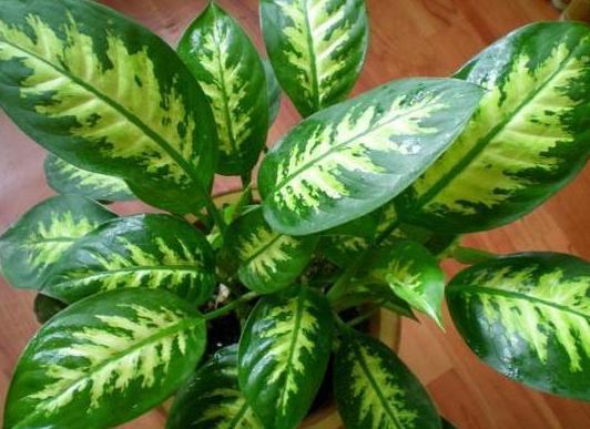 养殖花叶万年青,4个细节掌握到位,植株伤亡少、枝繁叶茂