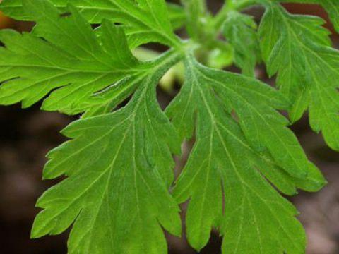 绿植艾草可以种在家里吗?