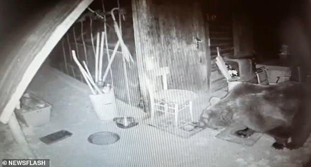 意大利棕熊突破7千伏电压4米高围栏,捅蜂箱追牛群逃亡数月终被捕