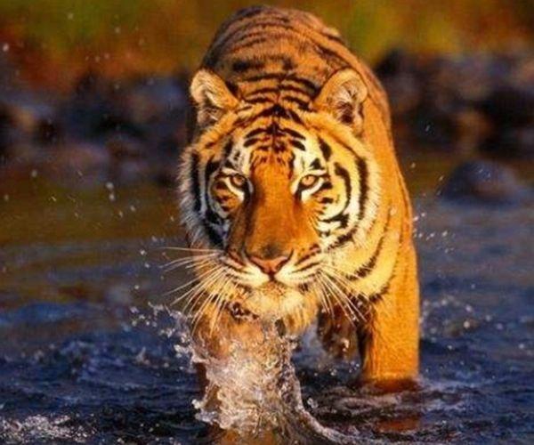 """""""虎王""""凶狠与怜悯的选择,关乎属虎人一生命运,是福是祸都在你"""