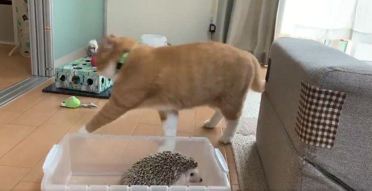 橘猫好奇「拍刺猬」 网友爆笑狂播300万次:跟你说了吼~