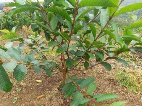 浅柝/番石榴高压苗与嫁接苗在种植上的误区