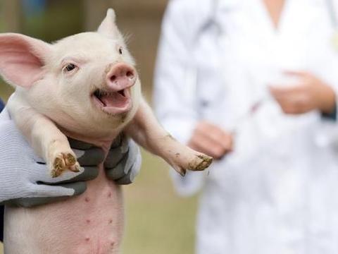 导致生猪感染冠状病毒的猪呼吸道冠状病毒等四种猪病的诊断和治