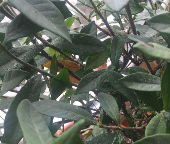 蚧壳虫大军来袭,家里植物上面多了一层蜡油,花友该怎么办?