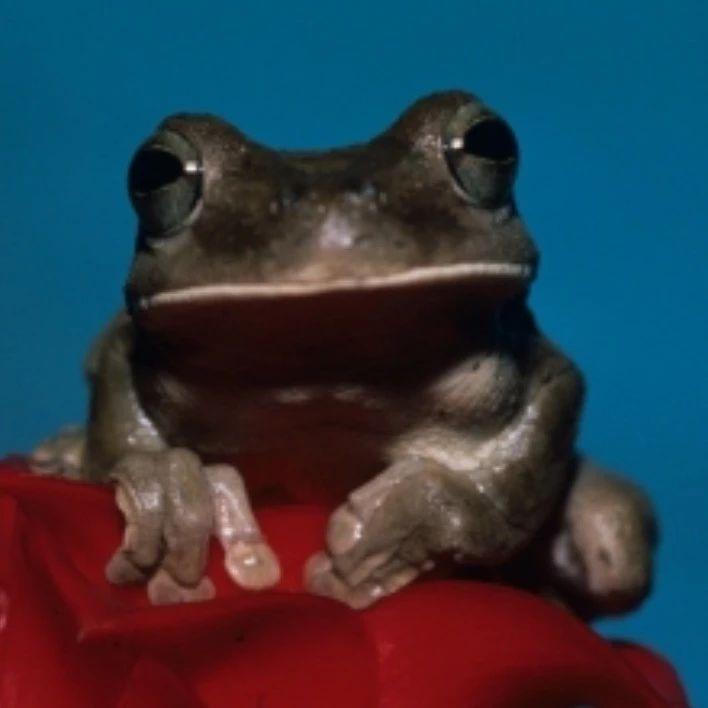 吸引情人,迷惑敌人,雨蛙如何做到两不误?