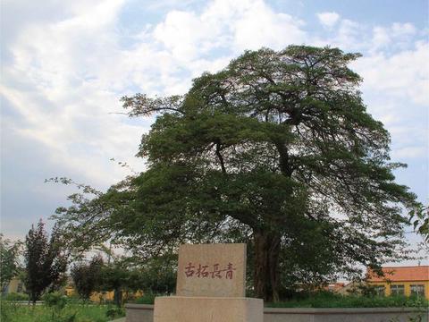 青岛故事丨张戈庄村的古柘树传说