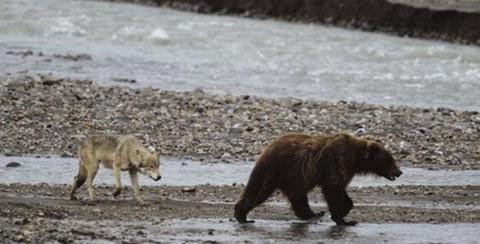棕熊与狼群血腥大战不忍直视,狼群卑鄙野心,紧紧跟随等援兵