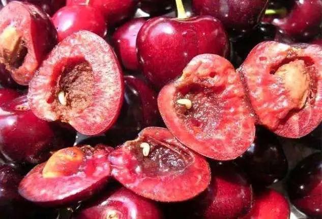 樱桃成熟期,临门一脚遇上果蝇,烂果还长蛆,果农如何办?