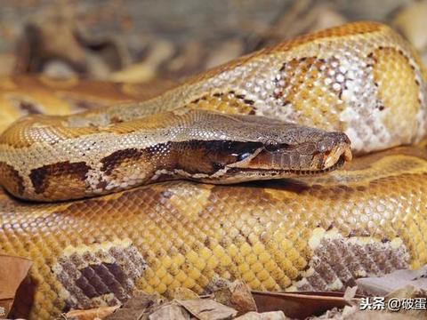 长着一张毒蛇脸,其实是一个温柔的大可爱——血蟒