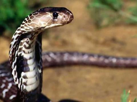 中华本土的眼镜蛇,能让全村吃饭的蛇,我国的十大毒蛇之一