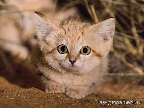 征服沙漠的小猫,几个月不用喝水,把毒蛇当辣条吃