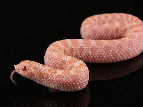 蛇界当中的铁憨憨,丢尽毒蛇界的脸,猪鼻蛇当真是个奇葩