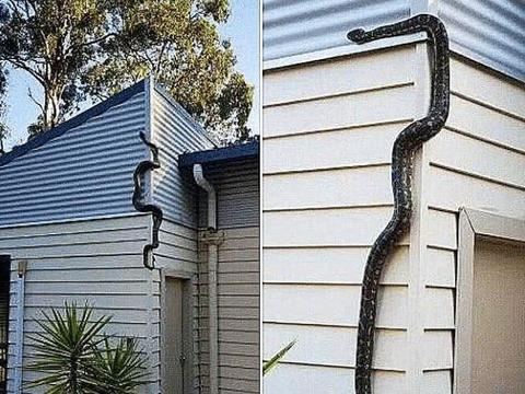 3米蟒蛇陪伴男子6个月,某天突然消失