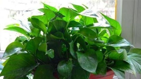 绿萝就是个醋坛子,一年能喝一瓶醋,四季油绿不黄叶,一窜2米高