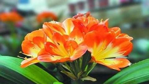 这种好东西,10天给君子兰喝一勺,窜出大花箭,开花上百朵!