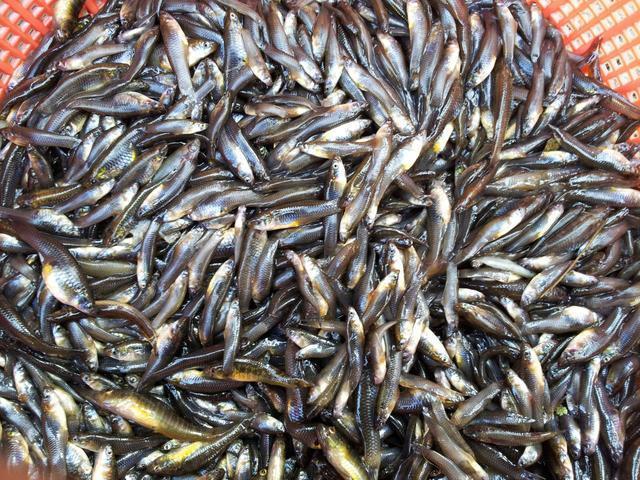 这种鱼在中国横行霸道,体型娇小以蚊子为食,爱钓鱼的你钓过吗