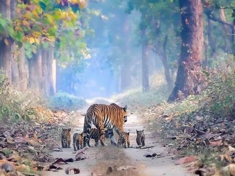 虎妈带着5只小老虎散步,太不可思议了!摄影师拍下了这美好一幕