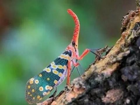 龙眼荔枝果树上的龙眼鸡,是一种美丽的害虫