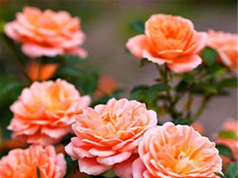 最美的橙色月季甜梦,多头勤花,1年能开6个月,1盆花开30朵
