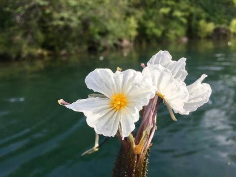 泸沽湖水性杨花已经盛开,你何时来?