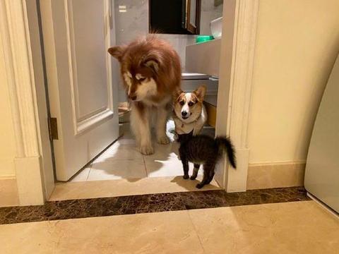 两只狗被猫逼得躲进厕所,阿拉斯加眼神躲避,柯基则向主人求救!