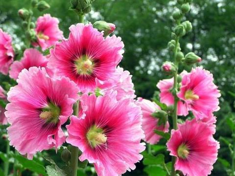 """""""3种花""""适合庭院养,养成一片花海,新手也能养好,开花不断"""