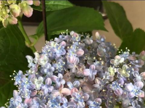 盆栽绣球花,花前花后这么做,开花多,个个都是大花球