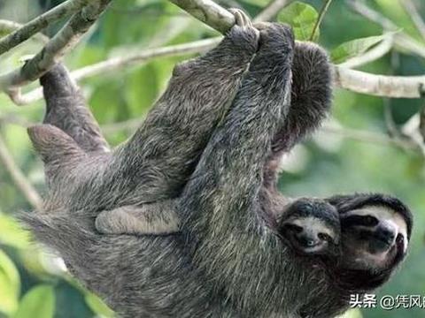 世界上最懒的动物, 懒的身上长满了植物,懒到不会得癌症