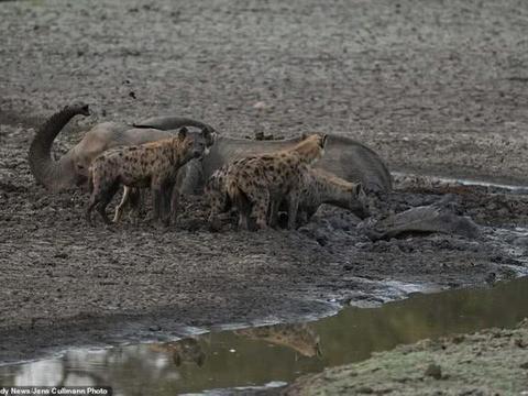 津巴布韦母象看着小象被鬣狗啃食无能为力,在残骸旁绝望脱水而死