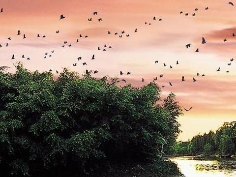 中国最美树王,覆盖15亩天地,甚至被写进语文课本里