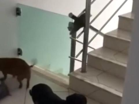 狗狗偷跑下楼玩耍被抓回家:可能你不信,但门真是自己开的