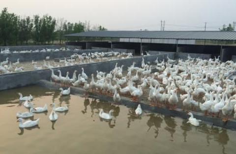 如何诊断防治鸭传染性浆膜炎病理变化?