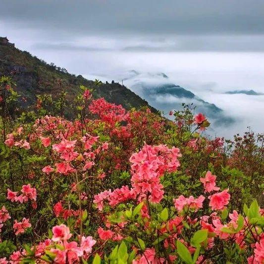 投稿指南 | 瑞安:杜鹃花红圣井山