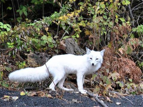 开学之际动物园也开园了,可游客们却在看到狐狸后笑出了猪叫声