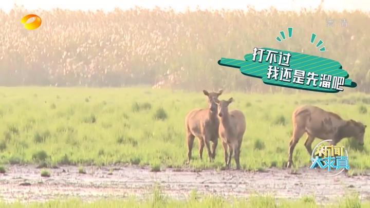 """新闻大求真:一诺到洞庭湖深处寻找麋鹿,竟意外看到""""单挑""""场面"""