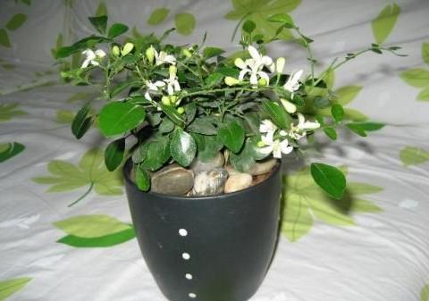 这种花太厉害了,在家养一盆,驱虫还能有个好睡眠!