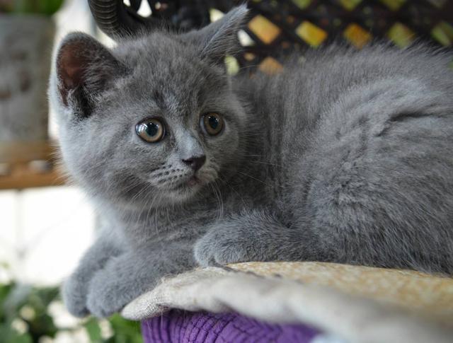 所有猫科动物都会吐毛球吗?这可能与它们爱干净有关