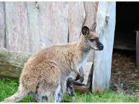 游客参观动物园,有人投石袭击袋鼠,导致袋鼠数量减少,你怎么看