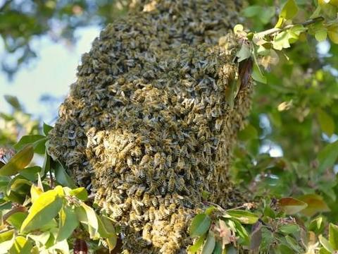 蜜蜂养殖技术|人工分群回蜂原因分析及减少回蜂的方法
