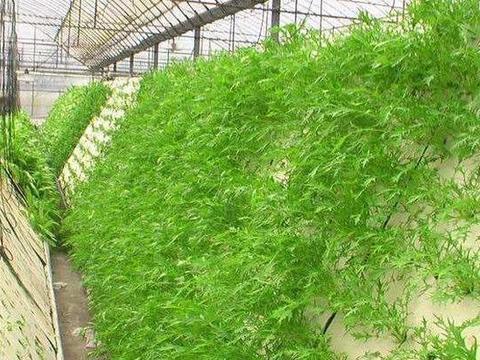 农村一种珍贵野菜,含钙量是白菜5倍,但寿命只能维持1天