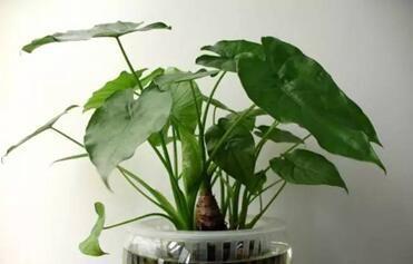 这两种花,再好看也不要养在室内,汁液都有毒,还影响身心健康