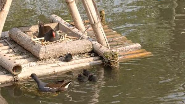 """上海动物园来了一群""""会游泳的鸡"""""""